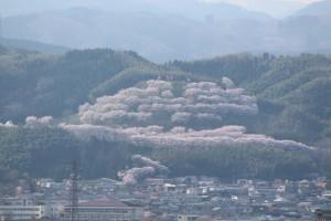 窓から見える桜2