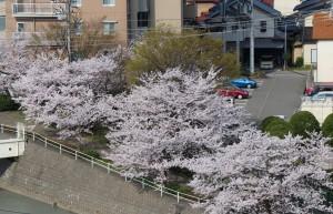 窓から見える桜3